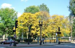 Trio of Maple Trees near entrance to Boston Public Garden.jpg