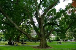 Tree with huge branches at Boston Public Garden.jpg