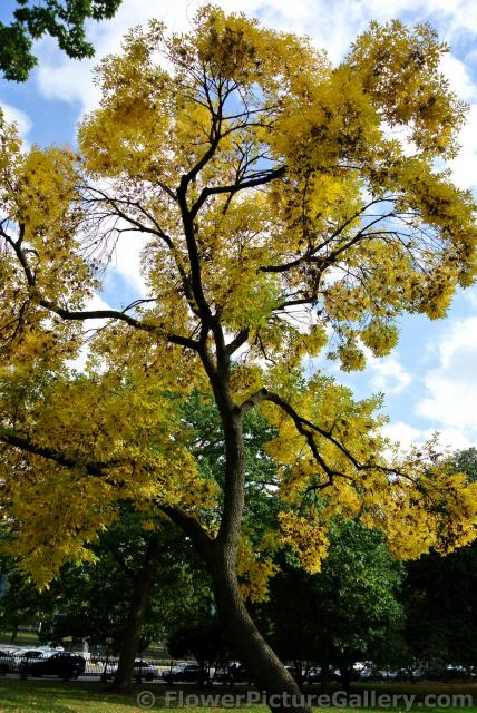 Tree with yellow fall leaves at Boston Public Garden.jpg