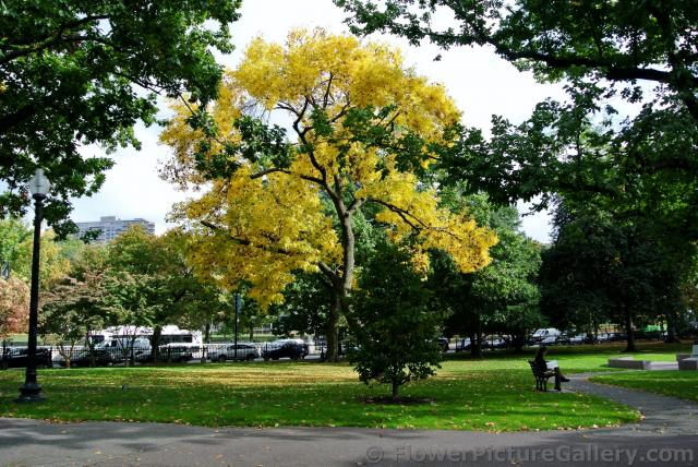 Tall tree with golden leaves at Boston Public Garden.jpg