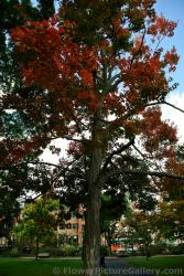 Tall Sugar Maple Tree at Boston Public Garden.jpg