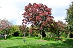 Tall red leaf maple tree at Boston Public Garden.jpg