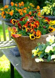 Bright gardern pots full with colorful pansies flowers.JPG
