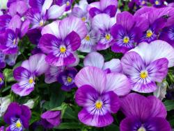 Annual flowers pictures of purple pansies garden flowers.JPG