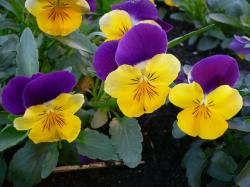 Annual garden flowers photos of pansies flowers.JPG