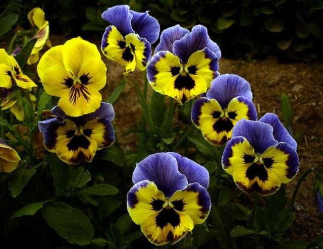 Beautiful annual spring garden flowers images of pansies in yellow and purple.JPG