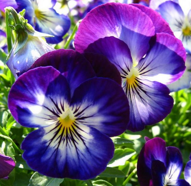 Beautiful spring flowers with blue purple and white pansy images.JPG