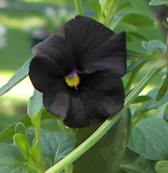 Black flowers photo of pansy flower.JPG