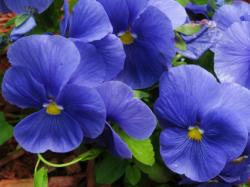 Blue garden flowers pictures of blue pansies.JPG