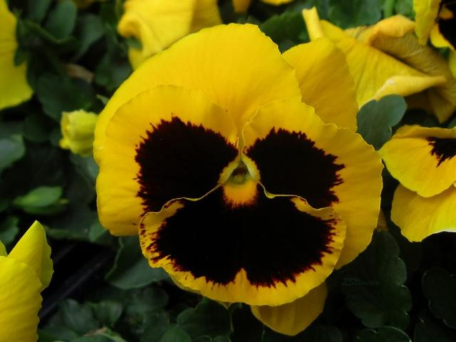 Bright yellow garden pansies photos.JPG