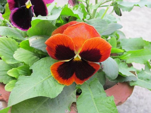 Close up picture of pansy flowers.JPG