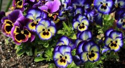 Cold weather flowers picture of pansies in yellow and blue with brown and orange yellow centers.JPG