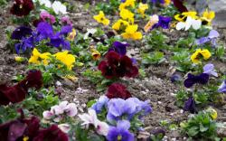 Colorful garden bed picture of short flowers photos.JPG