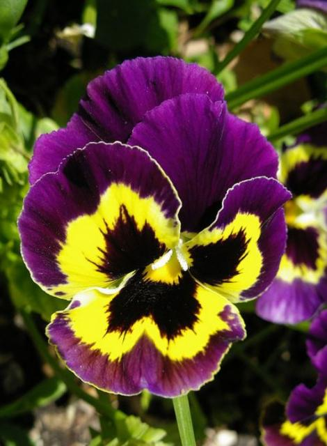 Dark purple and bright yellow pansy photos.JPG