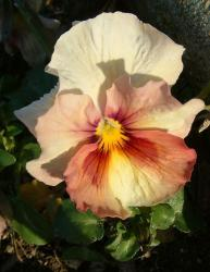 Four tones flowers picture of pansy flowers in cream orange pink and yellow.JPG