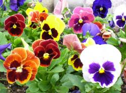 Garden pansies flowers pictures.JPG