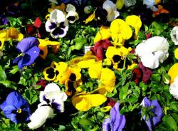Garden pansies pictures.JPG