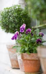 Modern planter with pansies flowers in purple.JPG