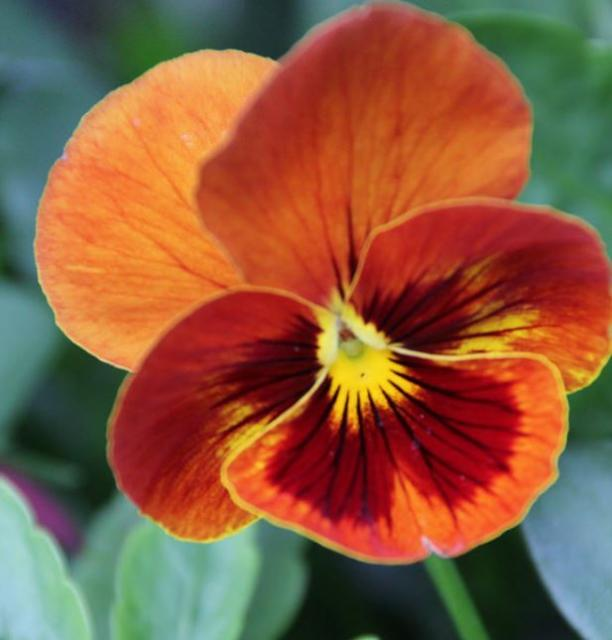 Orange flowers of pansy with bright yellow center.JPG