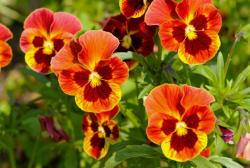 Orange red garden pansies flowers.JPG