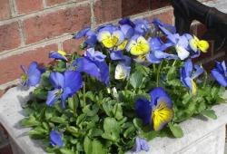Pansies flowers in large pot photos.JPG