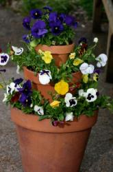 Pansies flowers in pots photos.JPG