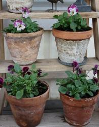 Pansies flowers in pots.JPG