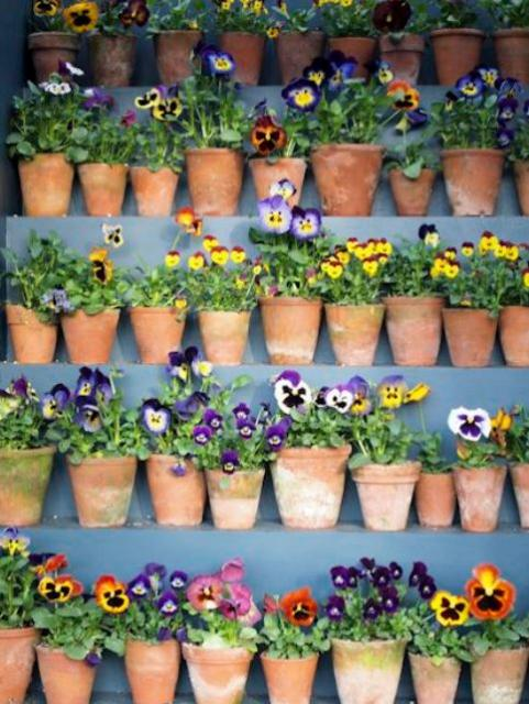 Pansies flowers in small clay pots.JPG