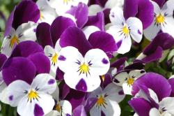 Pretty flowers pictures of pansy in white and purple with yellow centers.JPG