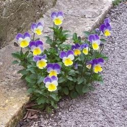 Purple and yellow flowers picture of pansy flowers growing on the street.JPG