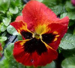 Red pansy flowers pictures.JPG