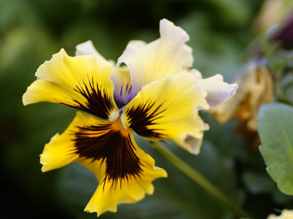 Spring flowers photos of yellow flower Pansy in bright yellow with brown and light purple in the center.JPG