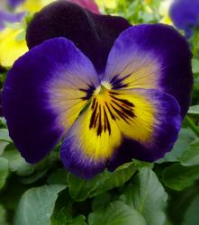 Spring flowers pictures of a beautiful dark purple with bright yellow in the center.JPG