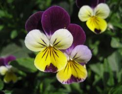 Three tones flowers photos of purple, creaam and yellow pansy.JPG
