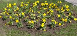 Yellow garden pansies flowers bed.JPG