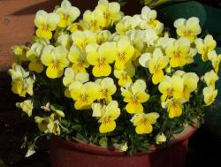 Yellow pansies flowers in pot picture.JPG