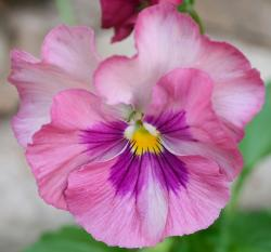 Annual flowers photos of Garden pansies flowers in pink.JPG