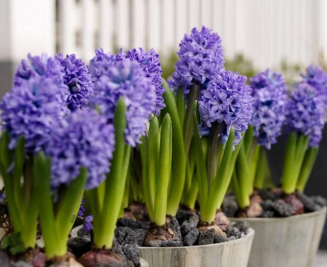 Beautiful purple Easter flowers perfect Easter gifts.JPG
