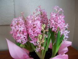 Pink flowers plants perfect for Easter flower gift picture.JPG