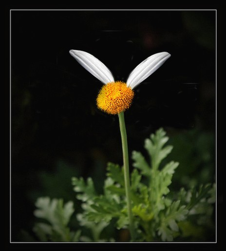 funny looking daisy flower.jpg