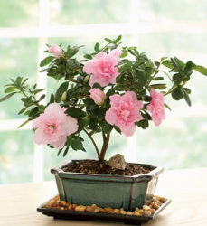 Give your mom a long lasting mother's day flowers gift with this Azalea Bonsai.PNG