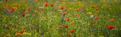Summer flowers meadow with colorful wild flowers.JPG