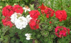 White flowers and red flowers perfect for summer garden bed pictures.JPG