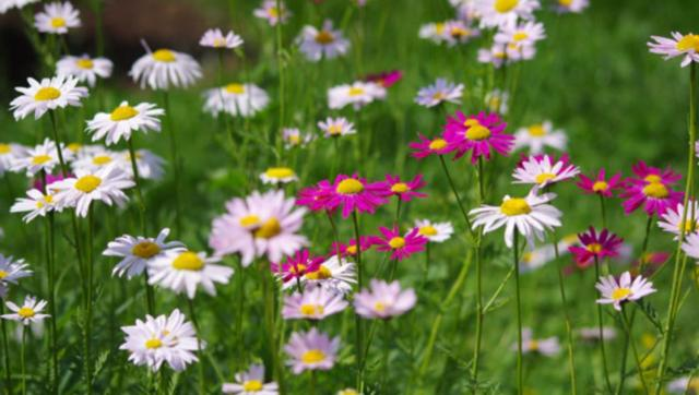 Wild summer flowers with white flowers and pink flowers photos.JPG