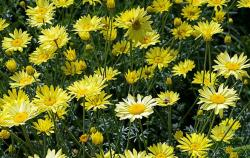 Yellow Daicies summer flowers images.JPG