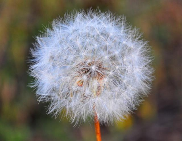 Close up picture of wild flower Dandelion.JPG