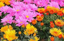 Colorful summer flowers with hot pink flowers, orange red flowers and yellow flowers images.JPG