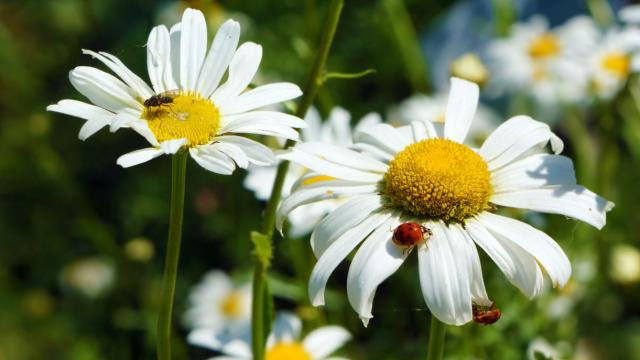Daisies flowers with lady bugs picture.JPG