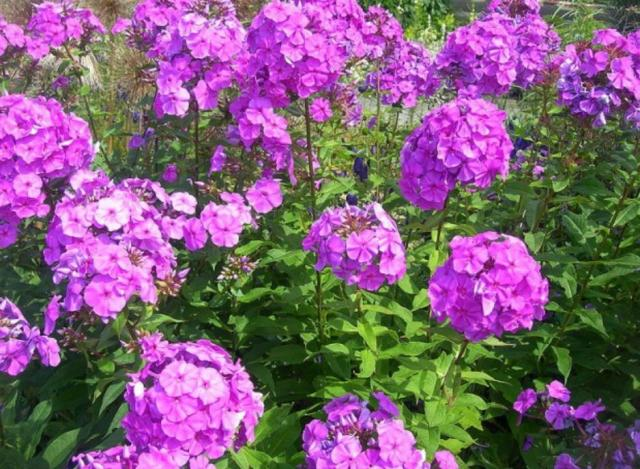 Garden summer flowers picture of purple pink Phlox Paniculata flowers.JPG