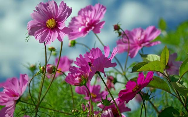 Pictures of summer flowers in pink.JPG